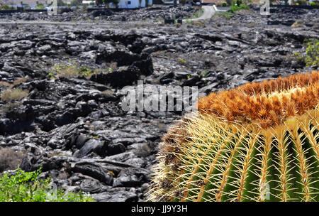 Riesige Kakteen in einem vulkanischen Ort - Lanzarote, Spanien - Stockfoto