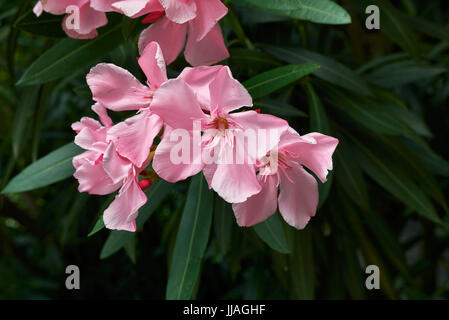 Nerium oleander - Stockfoto