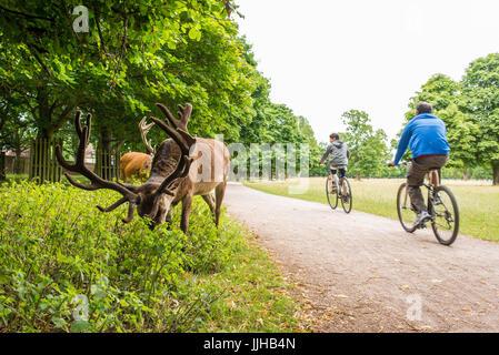 Richmond, London, UK - Juli 2017: Zwei Radfahrer, Radfahren auf einem Pfad neben Hirsche ernähren sich von einer - Stockfoto