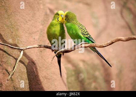 Wellensittiche (Melopsittacus Undulatus), tierische paar auf Baum, Abrechnung, Sozialverhalten, Australien - Stockfoto