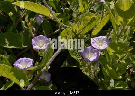 Kanarische Winde / Correguelon (Convolvulus Canariensis) auf den Kanarischen Inseln endemisch, Blüte in montane - Stockfoto