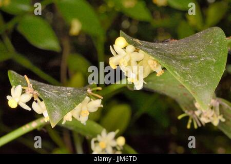 Mäusedorn Klettern / Gibalbera (Semele Androgyna), einem Kanarischen Inseln endemisch, Blütezeit von blattartigen - Stockfoto