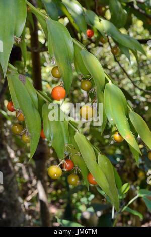 Mäusedorn Klettern / Gibalbera (Semele Androgyna), einem Kanarischen Inseln endemisch, mit Früchten Reifen auf blattartigen - Stockfoto