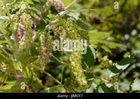 Strauchige Burnet / (Bencomia Caudata) endemisch auf den Kanarischen Inseln, Blüte in montane Laurel Wald / Laurissilva, - Stockfoto