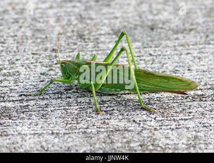 Weiblichen europäischen Great Green Bush Cricket (Tettigonia Viridissima) in Nahaufnahme. - Stockfoto