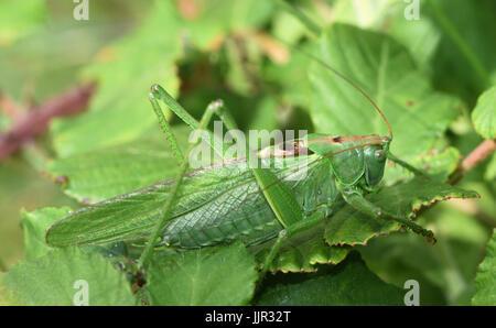 Eine große weibliche große Green Bush-Cricket (Tettigonia Viridissima). Cuckmere Haven, Sussex, UK. - Stockfoto
