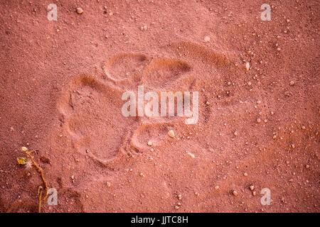 Verfolgen oder paw Print von einem Leoparden, Namibia, Afrika - Stockfoto