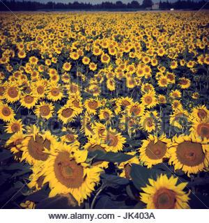 Sonnenblume Landschaft, Feld Sonnenblumen provence Sonnenblume blüht Feld mit Sonnenblumen blumen Fotografie image - Stockfoto