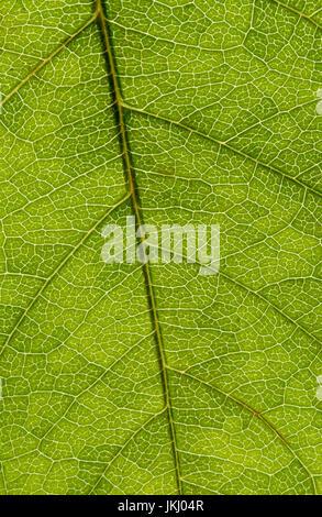 Struktur der grünen Blatt, Makro-Bild - Stockfoto