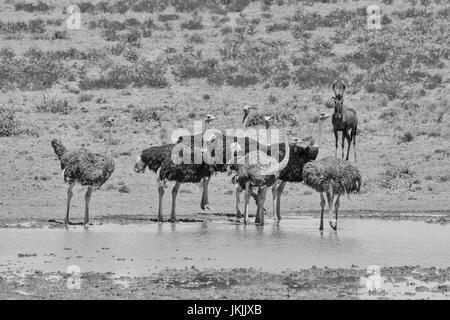 Ein schwarz-weiß Bild einer Gruppe von Strauße an einem Wasserloch im südlichen Afrika - Stockfoto