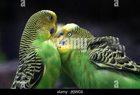 Paar umwerben australische Sittiche Wellensittich (Melopsittacus Undulatus) in Nahaufnahme. - Stockfoto