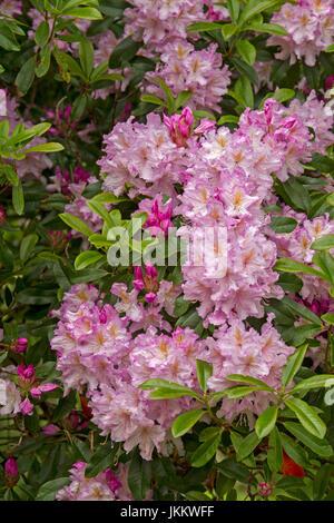 Cluster weiß / hell rosa Blüten Calytrix Tetragona, Fransen Blume ...