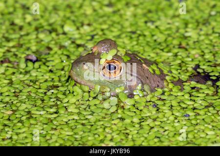 Amerikanischer Ochsenfrosch (Lithobates Catesbeianus oder Rana Catesbeiana) durchsehen Wasserlinsen in einem See, - Stockfoto