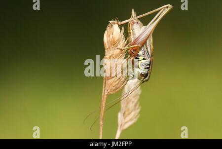 Eine schöne Rösel Bush Cricket (Metrioptera Roeselii) thront auf einem Graskopf Samen. - Stockfoto