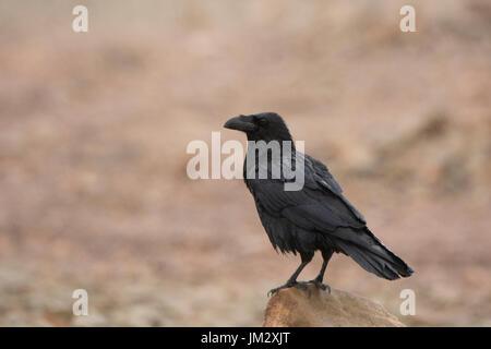 Gemeinsamen Raven-Corvus Corax Fuertuventura Kanarische Inseln - Stockfoto