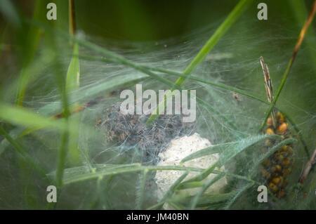 Eine Nahaufnahme Bild von einem Labyrinth Spinnen, Angelena Labyrinthica nest voller Jungspinnen, genommen in Heysham - Stockfoto