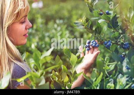Hübsche junge Frau pflückt Früchte auf einem Heidelbeer-Feld. Lensflare und Vintage abgeschwächt. - Stockfoto