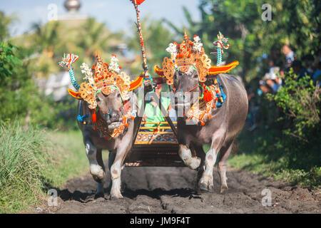 Makepung - traditionelle balinesische Bull Rennen im Jembrana Regency, West Bali, Indonesien. - Stockfoto