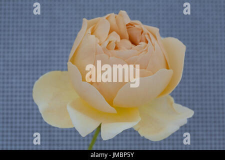 Studieren Sie in der Farbe der Rose Jude obskuren - Stockfoto