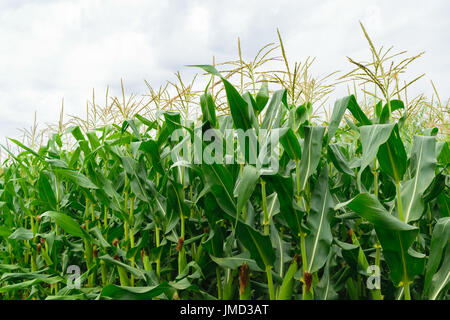 Nahaufnahme von Bio Green Maisfeld - Landschaft Landwirtschaft - Stockfoto