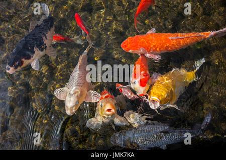 farbenfrohe koi fische schwimmen und offenen mund warten auf das essen in einem teich k nnen. Black Bedroom Furniture Sets. Home Design Ideas