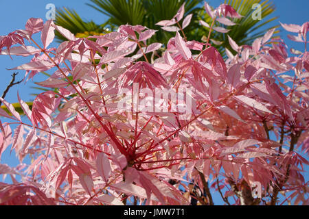 Rosa Blätter der Cedrela Sinensis oder Toona sinensis - Stockfoto