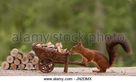 Eichhörnchen hält eine Schubkarre geladen mit Brennholz - Stockfoto