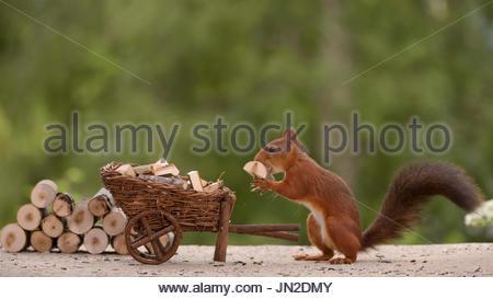 Eichhörnchen und Schubkarre beladen mit Brennholz - Stockfoto