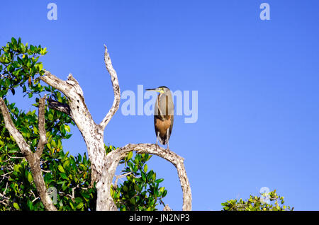 Bare throated Nacktkehlreiher in einem Baum in Rio Lagartos, Mexiko - Stockfoto