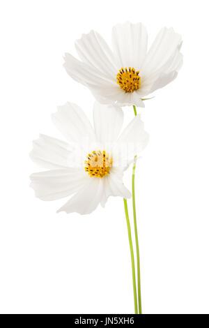 Kosmos Blumen isoliert auf weißem Hintergrund Stockfoto, Bild ...