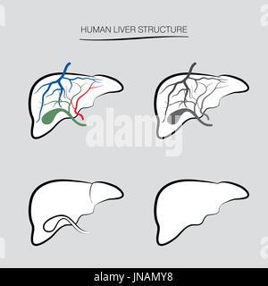 Menschliche Leber Struktur. Die internen Organ Symbole gesetzt - Stockfoto
