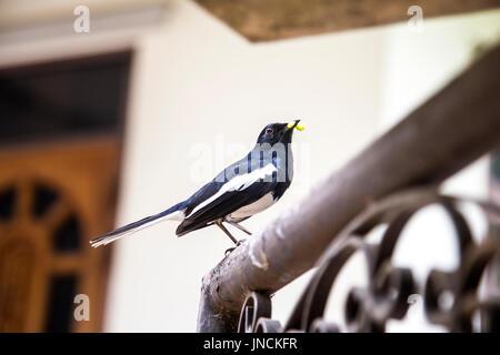 Oriental Magpie Robin (Copsychus Saularis) Vogel einen Wurm in seinem Schnabel hält - Stockfoto
