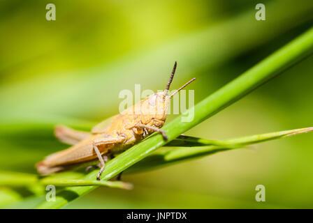 Makroaufnahme einer Heuschrecke auf dem Rasen sitzen und schaut sich um. Glatten grünen Hintergrund. - Stockfoto