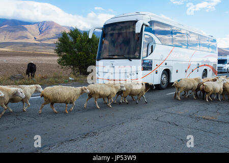 Schafherde zu Fuß durch einen Bus, Provinz Tawusch, Armenien - Stockfoto