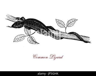 Vintage Porträt des gemeinen Eidechse, lebendgebärend Reptil polymorphe Variable Farben Schwanz zweimal, solange der Körper weit verbreitet in Europa und Asien