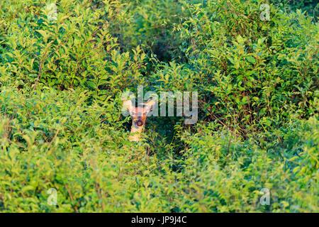 Weiß - angebundene Rotwild versteckt in dichten Bäumen im kahlen Knopf Wildlife Refuge in kahl Knopf, Arkansas - Stockfoto