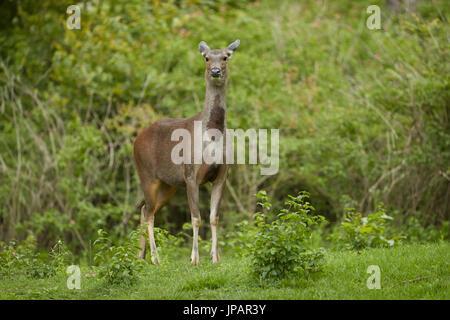 Sambar-Hirsche in natürlichen habital - Stockfoto