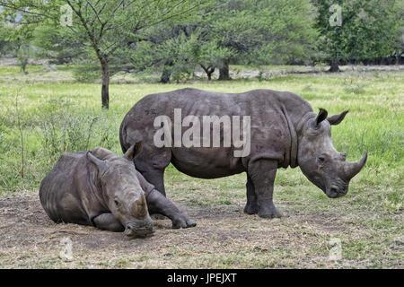 Südliches Breitmaulnashorn/südlichen Nashörner - Rhinocerotidae)) - Stockfoto