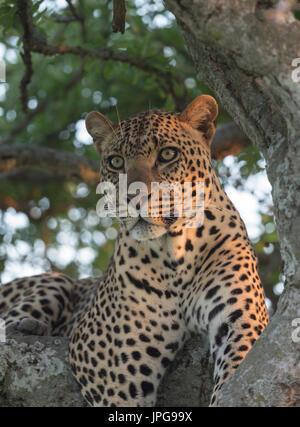 Leopard im Abendlicht - Stockfoto