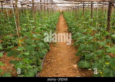 Gurken wachsen im Film Gewächshäuser. Das schnelle Wachstum im Sommer. - Stockfoto