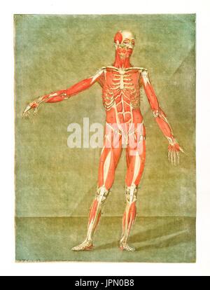 Medizin, Anatomie Muskeln eines Menschen, Charts, Deutschland, ca ...