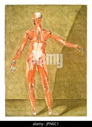 Anatomie des Menschen. Muskeln und Knochen. Von a.e. Gautier D\'Agoty ...