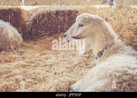 Schöne weiße Ziege mit luxuriösen Pelz entspannt unter Heuballen auf der Land-Messe in Vintage Gartenanlage - Stockfoto