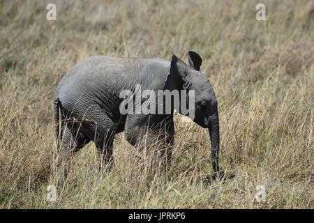 Elefanten durchstreifen die Serengeti - Stockfoto