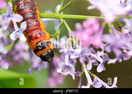 Ziege Motte auf Blumen - Stockfoto
