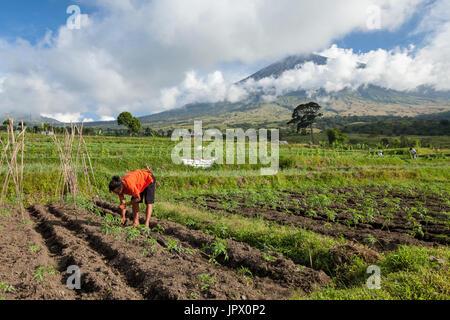 Mann in einem Gemüse - Gunung Rinjani Lombok Indonesien - Stockfoto