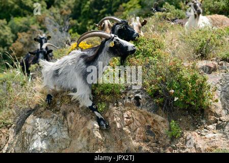Korsische Ziegen im Busch - Golf von Porto Korsika Frankreich - Stockfoto