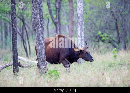 Gaur Unterholz - Satpura Indien - Stockfoto