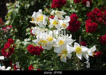 Stark duftende weiße Lilie, Lilium, Gale\' und \'Blume rot Teppich ...