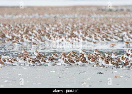 Eine große Herde der kleinen Vögel stehen auf dem verschneiten Boden; Cordova, Alaska, Vereinigte Staaten von Amerika - Stockfoto